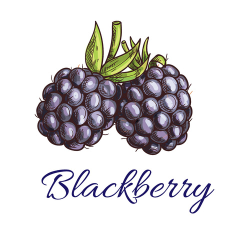 ripe: Fresh blackberry fruit sketch. Summer ripe black berries with green curly stem. Vegetarian dessert, juice packaging, agriculture theme design
