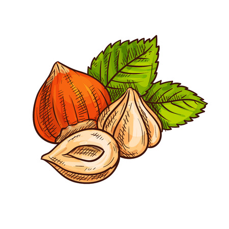 Ripe hazelnut with green leaves sketch of fresh and roasted forest nuts. Healthy dessert, vegetarian snack, food packaging design Illustration