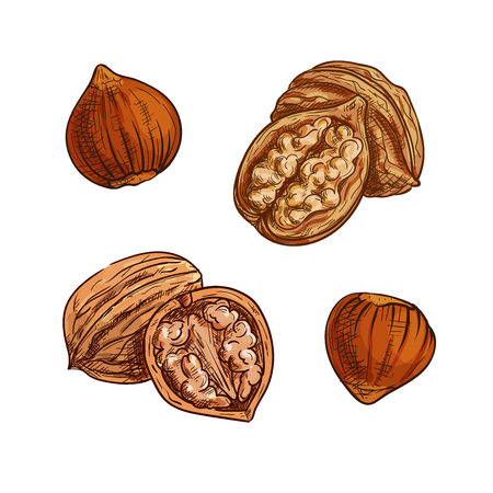 Hazelnut and walnut sketch. Healthful natural nuts for vegetarian snack symbol, confectionery dessert recipe, healthy food design