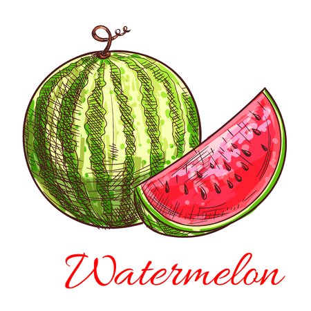 sweet treats: Sketch of watermelon fruit. Striped green watermelon with sweet juicy slice of red flesh. Healthy vegetarian dessert, summer treats, agriculture themes design