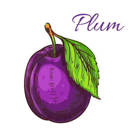 purple leaf plum: Plum fruit with green leaf isolated colored sketch. Ripe purple garden plum for organic farming, juice packaging or jam recipe design