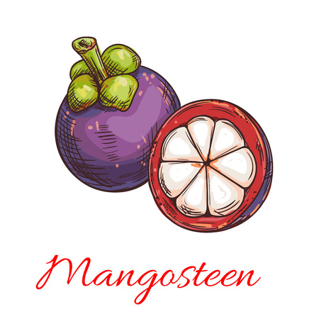 thai dessert: Tropical mangosteen fruit sketch of exotic asian fruit with purple peel and sweet white flesh. Tropical cocktail, dessert, juice menu for cafe and restaurant design Illustration