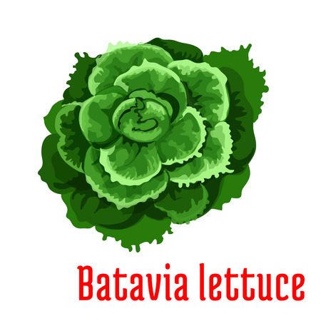 leaf lettuce: Batavia Lettuce plant icon. Isolated leafy vegetable green element. Vegetarian leaf salad product sign for sticker, grocery shop, farm store