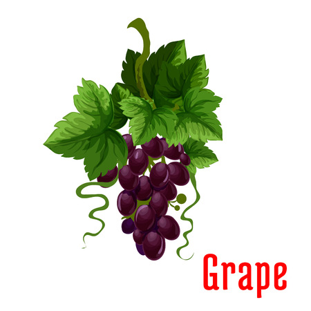 fruit stem: Grape fruit plant icon. Isolated bunch of black grapes on stem with leaves. Botanical style product emblem for juice or jam label, packaging sticker, grocery shop tag, farm store