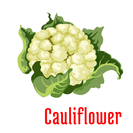 cauliflower: Cauliflower vegetable icon isolated wrapped in green leaves. Vegetarian product sign for sticker, tag, grocery shop, farm store decoration element