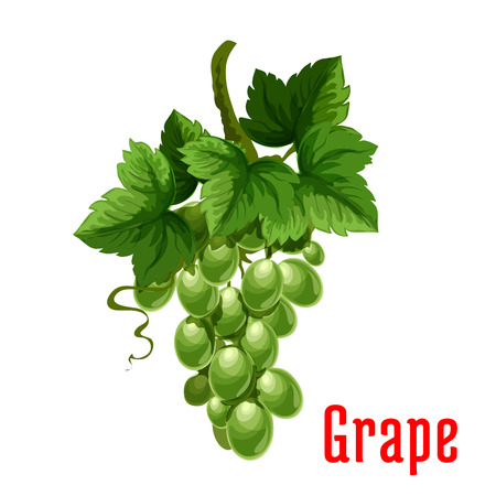 White Grape fruit. Isolated bunch of green grapes on stem with leaves. Botanical product emblem for juice or jam label, packaging sticker, grocery shop tag, farm store Illustration