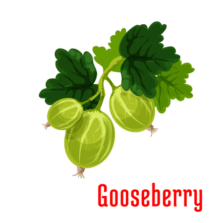 fruit stem: Gooseberry fruit. Isolated bunch of gooseberries on stem with leaves. Botanical product emblem for juice or jam label, packaging sticker, grocery shop tag, farm store
