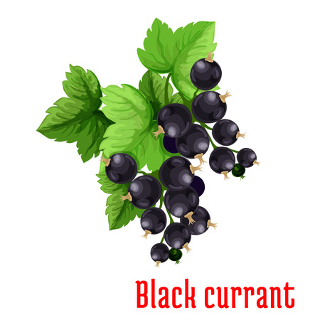 black berry: Black currant berries. Isolated bunch of blackcurrant on stem with leaves. Fruit and berry product emblem for juice or jam label, packaging sticker, grocery shop tag, farm store
