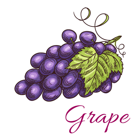Black grape berries. Isolated vine of grapes with leaves. Fruit and berry product emblem for juice or jam label, wine bottle sticker, farm store Illustration