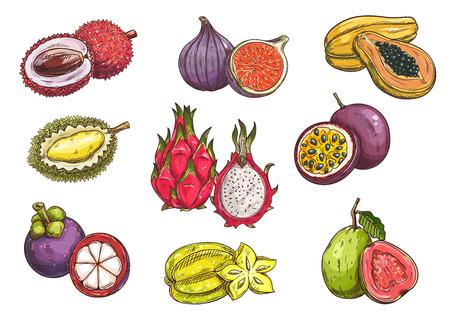 frutas tropicales: Las frutas tropicales y exóticas. bosquejo del vector aislada de lichi, durian, mangostán, higo, fruta de dragón, carambola, papaya, fruta de la pasión de guayaba