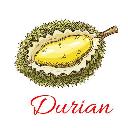 flesh: Exotic asian durian fruit sketch with smelly green peel and yellow sweet flesh. Tropical dessert recipe, oriental cuisine menu design