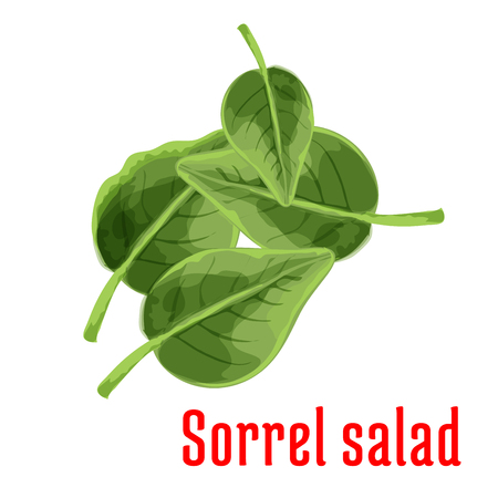 sorrel: Sorrel vegetable green leaves isolated cartoon icon with fresh garden spinach dock. Healthy vegetarian salad recipe, organic farming and food packaging design