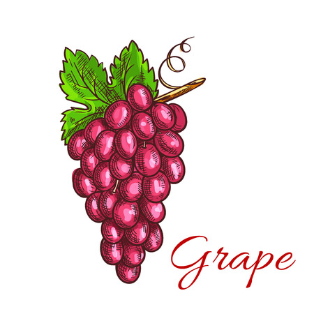 grape fruit: Grape fruit bunch with green leaf sketch. Grapevine with sweet and juicy pink berries of grape. Juice and wine packaging, vineyard symbol design