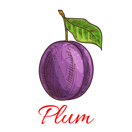 fruit stem: Sketched purple plum fruit isolated icon with green leaf and stem. Juice and food packaging, organic farming, healthy garden fruit design Illustration