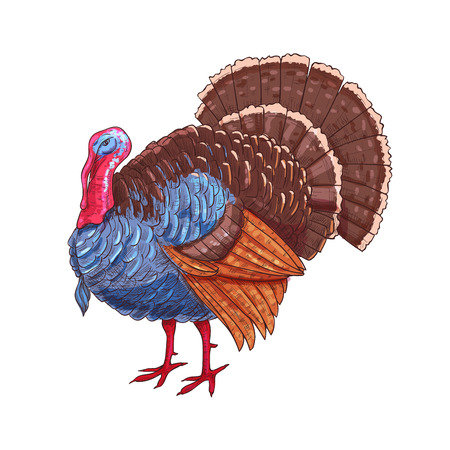 holiday symbol: Thanksgiving turkey. Color sketch vector isolated turkey bird symbol for thanksgiving holiday celebration decoration design, greeting card, invitation