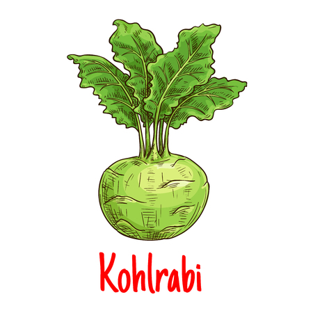 nutrition icon: Kohlrabi vegetable with fresh leaves sketch. Green turnip cabbage isolated icon for healthy vegetarian food, diet nutrition and agriculture themes design
