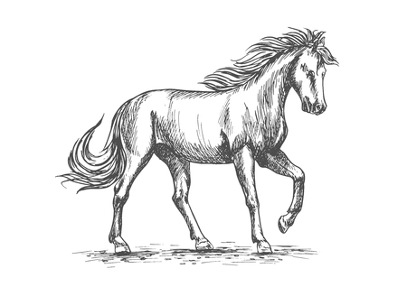 breeding: Horse isolated sketch with purebred arabian stallion horse pawing leg in paddock. Equestrian sport, horse racing symbol or horse breeding farm design