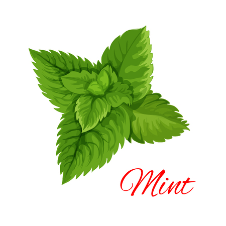 isolated ingredient: Mint emblem. Vector isolated leaves bunch of mint herb. Cooking, mojito juice cocktail, chewing gum and salad dressing ingredient for decoration, package design element, sticker, label Illustration