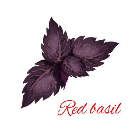 isolated ingredient: Red basil herb leaves isolated icon. Vector emblem of red basil herb dressing culinary spice and cooking ingredient for decoration, package design element, sticker, label Illustration