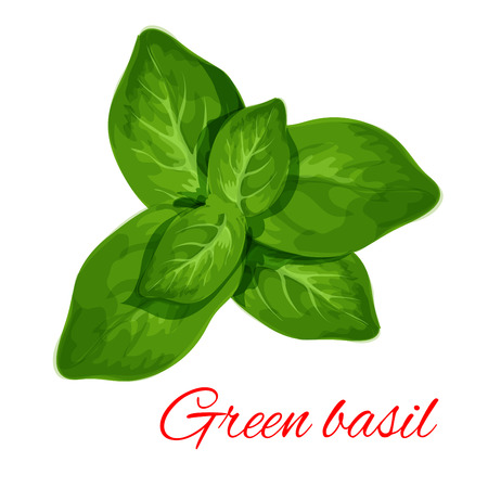 basil: Green basil. Vector isolated spice herb leaves icon. Vector emblem of green basil herb for design element in culinary, cooking ingredient, package decoration, sticker, label Illustration