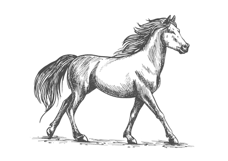 Proud white horse walks gracefully with its front hoof forward. Wild mustang gallops in free nature. Vector pencil sketch full body portrait
