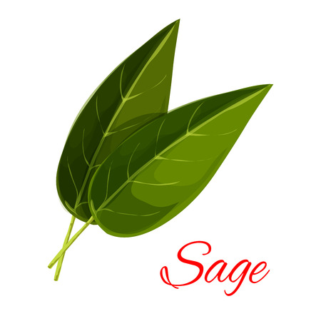isolated ingredient: Sage leaves. Vector isolated aromatic spice herb icon. Vector emblem of green sage leaf for culinary condiment, cooking ingredient, package sticker, label design element