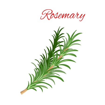 Rosemary culinary herb branches vector icon. Aromatic spice herbal condiment emblem of green rosemary branch with leaves for cooking ingredient package sticker, label design element Illustration