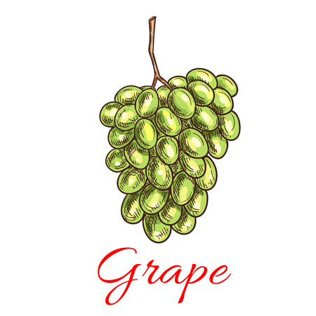 white grape: Grape bunch of green, white grapes. Vector sketch isolated icon of fresh ripe juicy grape cluster for juice, vine packaging, farm grape fruit product design