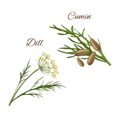 isolated ingredient: Dill, cumin spice herbs isolated vector icons. Aroma food and salad ingredient, condiment emblem of dill and cumin plants for packaging design, cuisine menu card, grocery shop, food market tag