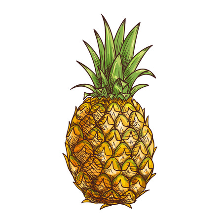 natural color: Pineapple fruit. Exotic tropical isolated fruit icon of whole pineapple with green leaves. Fresh juicy natural fruit for pineapple juice, jam, marmalade dessert product label, drink sticker. Color pencil sketch texture design