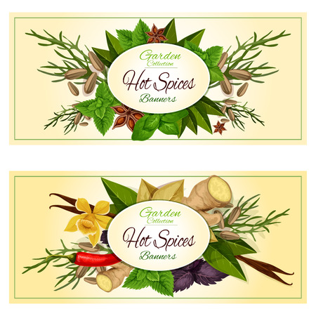 basil: Hot spices and spicy herbs. Vector banners set of cuisine condiments ginger, mint leaves, thyme, vanilla and chili pepper, bay, dill, cumin and basil, oregano and coriander, parsley, cinnamon, cloves, marjoram, tarragon, cilantro, rosemary