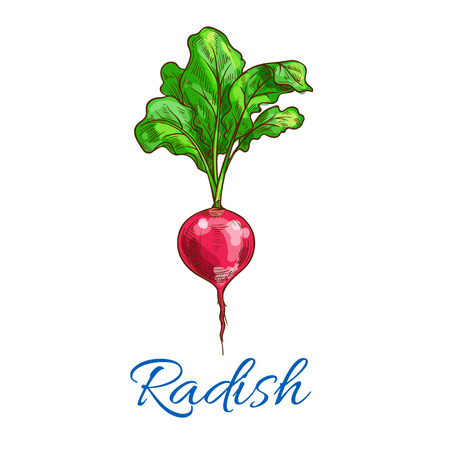 Radish vegetable icon. Isolated vector sketch of radish tuber with leaves. Vegan vegetable