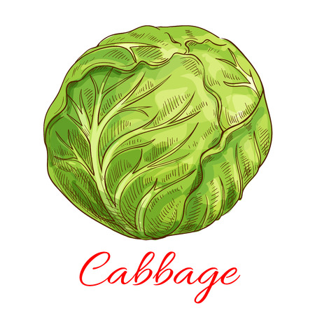 ripe: Cabbage vegetable icon. Vector isolated sketch vegetable object. Vegetarian and vegan cuisine. Whole veggie leafy kale cabbage. Symbol for grocery store, farmer market. Vegetables ripe farming harvest