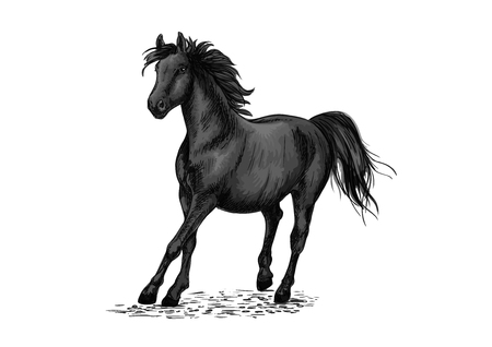gait: Black beautiful horse racing in gallop gait. Strong raven stallion running in freedom. Vector pencil sketch portrait of racehorse