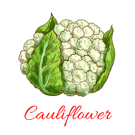 cauliflower: Cauliflower vector isolated vegetable. Vector sketch emblem of green fresh cauliflower head with leaves. Vegetarian and raw food healthy eating and diet icon for grocery shop emblem, farm store design element