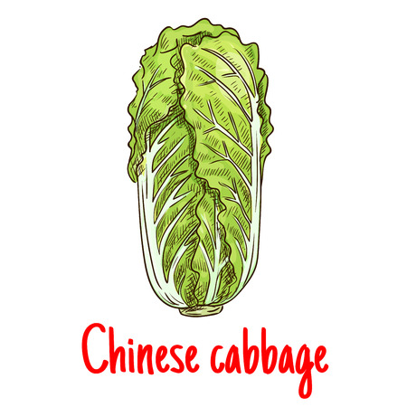 napa: Chinese cabbage. Vector isolated sketch of napa leafy cabbage vegetable. Vegetarian lettuce cabbage salad product for for grocery shop emblem, product tag, label design