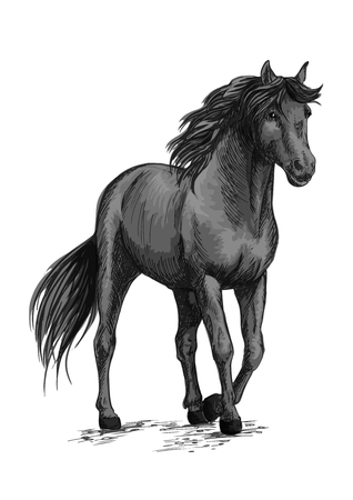 Horse walking in slow gait. Gray wild mustang pacing along road. Arabian equine mare stands with half lifted hoof. Vector sketch portrait Illustration