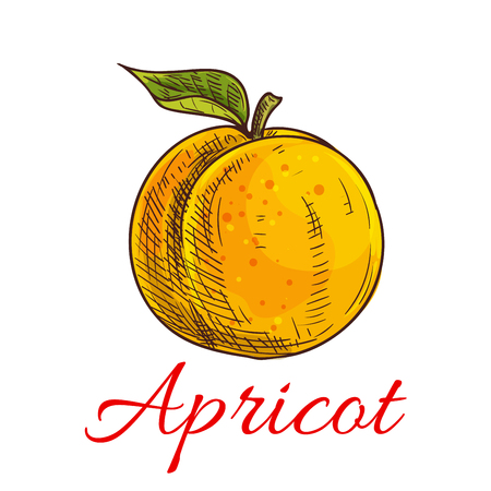 fruit stem: Apricot. Isolated apricot fruit with leaf and stem. Product emblem for juice or jam label, packaging sticker, grocery shop tag, farm store Illustration