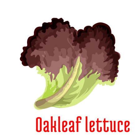 leaf lettuce: Red oakleaf lettuce vegetable greens cartoon icon with fresh leaf of lettuce salad. Vegetarian salad recipe, cookbook, healthy food themes design
