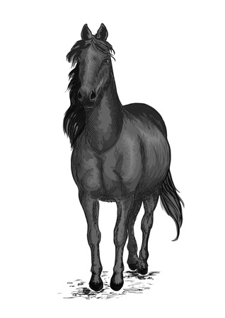 pacing: Black race horse. Arabian mustang pacing slowly. Vector emblem of horse stallion for sport horse racing. Ranch horse portrait