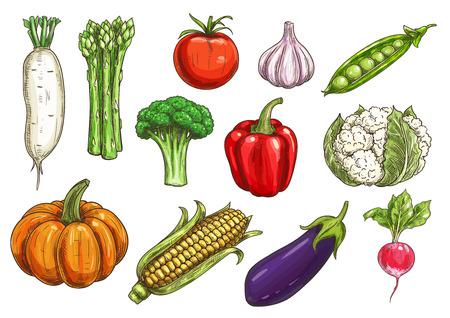 Croquis de légumes avec des icônes isolées de tomates, de poivrons, d'ail, d'aubergines, de brocolis, de maïs et de radis, de citrouille et de pois verts, d'asperges, de chou-fleur. Design de l'agriculture et de la gastronomie
