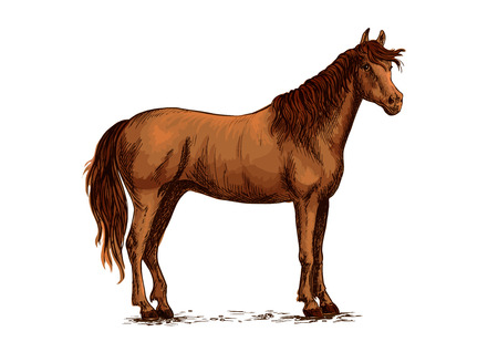 Brown arabian mustang stallion. Horse vector sketch for equestrian racing sport, horse riding races club, bets equine design. Wild horse standing on straight hooves with head turned aside and wavy mane Illustration