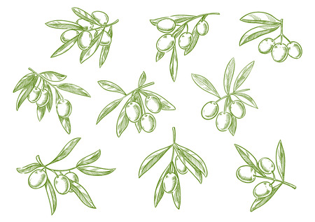 isolated ingredient: Sketched set of olive tree branch with green olives bunch. Vector isolated icon of vegetarian vegetable food salad ingredient for seasoning pack design. Symbol for olive oil bottle label or Italian, Mediterranean, Greek or Spanish cuisine