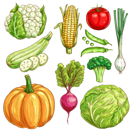 cauliflower: Vegetables sketch icons set of farmer market veggies. Vector isolated cauliflower and corn, zucchini squash and green pea, tomato and onion leek, pumpkin, beet and broccoli with white cabbage. Organic fresh vegetarian food Illustration
