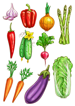napa: Vegetables sketch of garlic, bell and chili pepper, onion leek and asparagus, cucumber, radish and carrot, eggplant and chinese cabbage napa. Vegetarian farm fresh organic veggies vector isolated icons