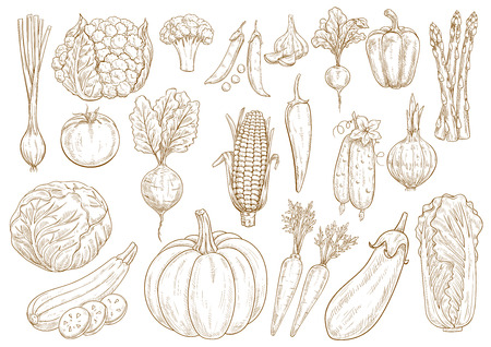 in peas: Vegetables sketch icons set of onion leek, cauliflower and broccoli, chinese napa cabbage, zucchini squash and green pea, tomato, cucumber and pumpkin, beet, asparagus and eggplant, garlic, corn and pepper. Vector isolated vegetarian farmer veggies