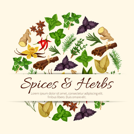 Herbal spices and spicy herbs poster of vector seasonings and cooking condiments anise and oregano, rosemary and thyme, ginger and vanilla with mint, cinnamon, tarragon, red and green basil, dill, cumin and chili pepper, sage and bay leaf
