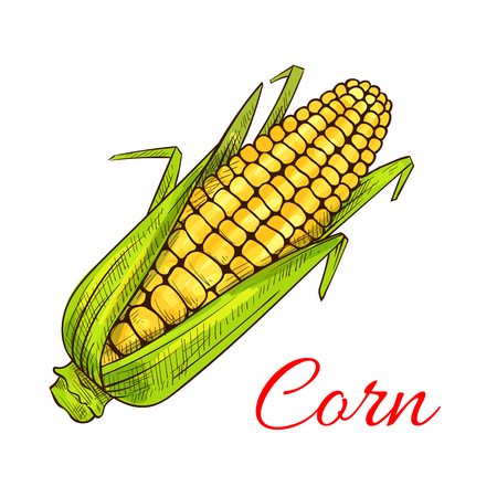 farmer market: Corn vegetable sketch. Vector isolated corncob or corn ear with leaves. Vegetarian and vegan cuisine vegetable and agriculture ripe harvest. Sweet corn cob maize object for grocery store, farmer market design