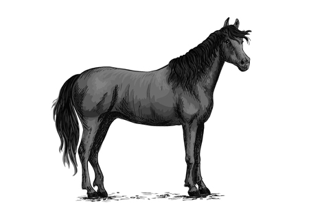 Horse vector sketch. Black wild mustang standing on ground. Farm stallion for equestrian racing sport, horse riding races club, bets or equine exhibition or farm animals design