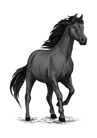 Selvaggio nero Mustang stallone in piedi e stomping con zoccolo. Per lo sport equestri e l'equitazione tubo, disegno equina. abbozzo cavallo nero Archivio Fotografico - 69832747